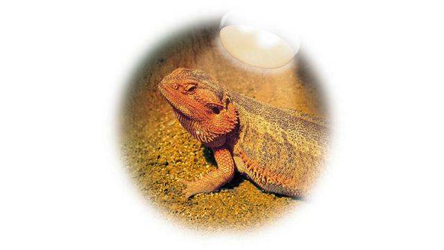 フトアゴヒゲトカゲの飼い方〈UVB・ライティング〉