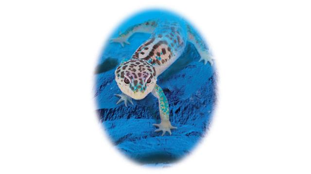 ヒョウモントカゲモドキの飼い方〈UVB・ライティング〉