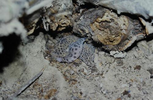多肉植物が朽ち枯れ積み重なった下に入り込むように生息するヒョウモントカゲモドキ