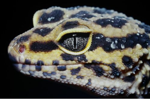 ヒョウモントカゲモドキの目