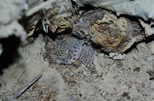 自然下のヒョウモントカゲモドキ