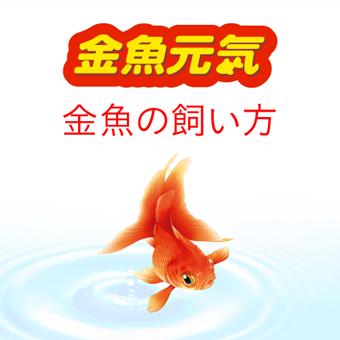 金魚元気 金魚の飼い方