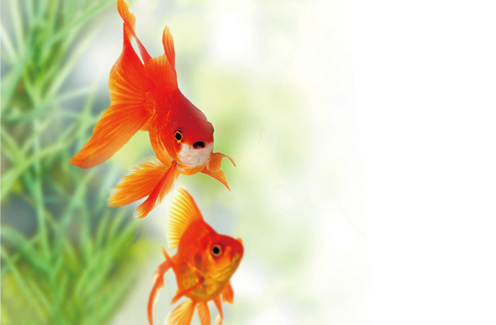 金魚イメージ