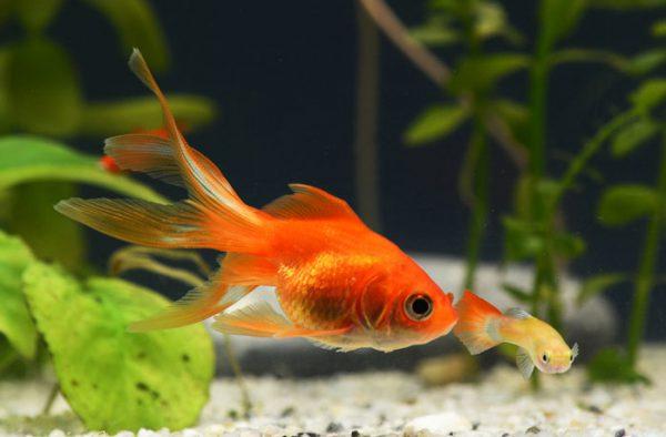 金魚の水槽掃除の手順を解説!注意点と水槽をきれいに保つ秘訣