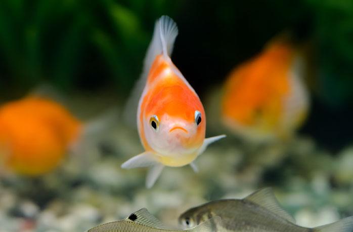 金魚が突然死した5つの原因と対策
