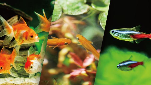 情報満載!飼育場情報ページ(金魚・メダカ・熱帯魚)をリニューアルしました