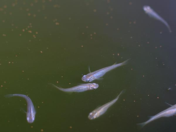 メダカが激しく泳ぐ!泳ぎ方別の原因と対処法
