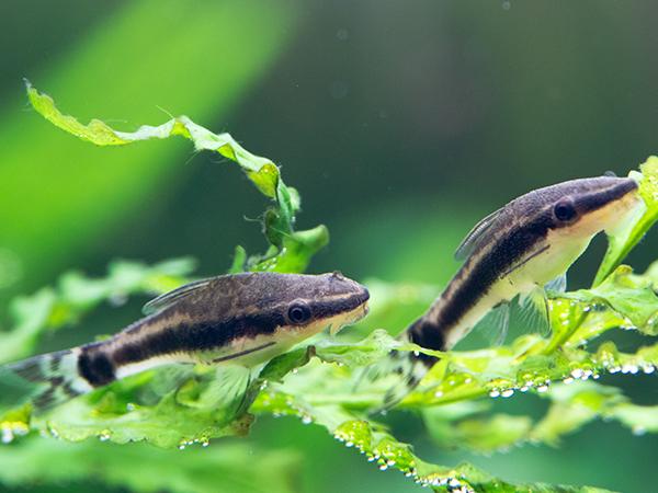 【コケ種類別】熱帯魚飼育におすすめのコケ取り名人