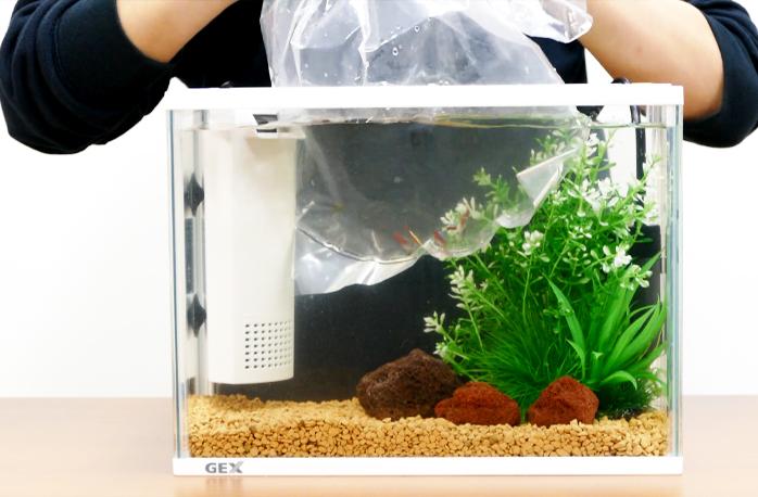 お家の水槽にまずは袋のまま浮かべる